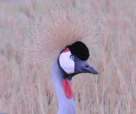 Grey Crowned Crane in the Ngorongoro Crater-r